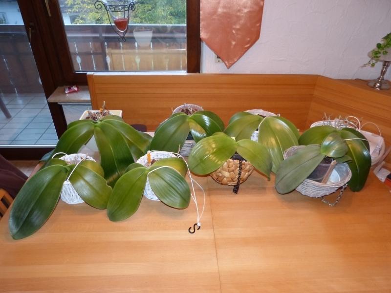 Phalaenopsis gigantea - Seite 5 002vzk2o
