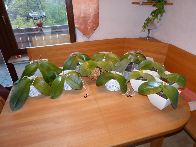 Phalaenopsis gigantea - Seite 5 003e3j1z
