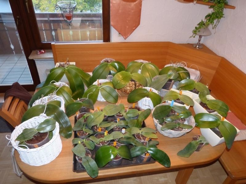 Phalaenopsis gigantea - Seite 5 005tcjt1