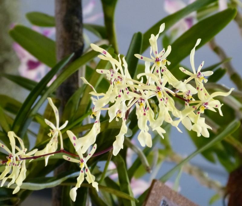 Neu-Ulmer Orchideentage 07.02.-09.02.2014   007iijwr