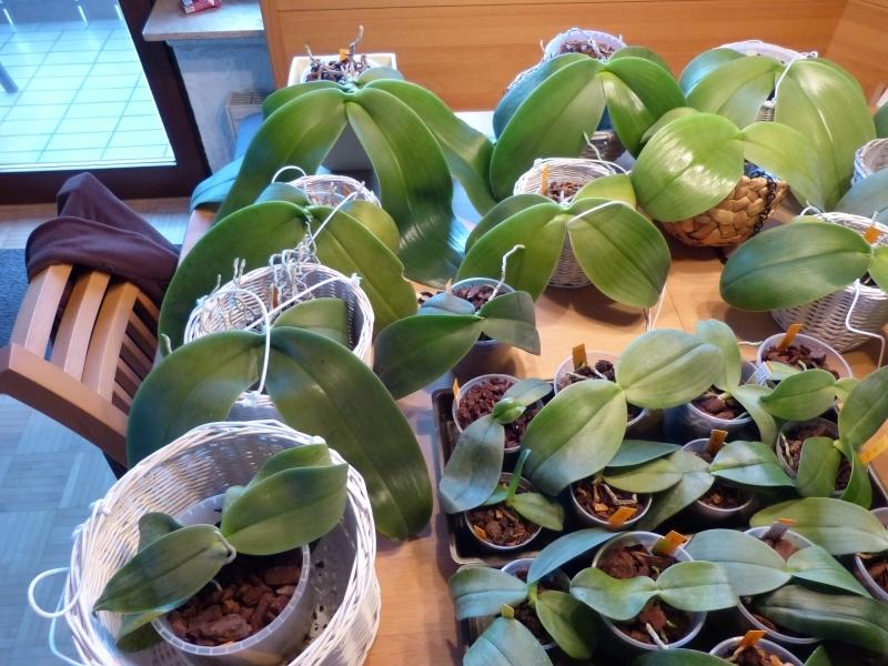 Phalaenopsis gigantea - Seite 5 007tkklc