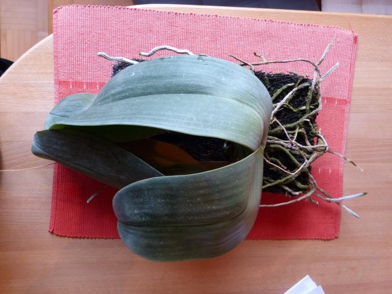 Phalaenopsis gigantea - Seite 6 009doyr0