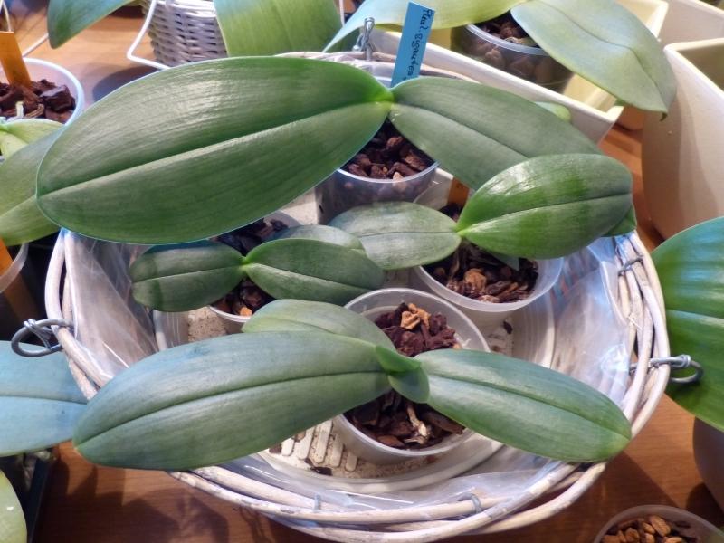 Phalaenopsis gigantea - Seite 5 009y3jjt