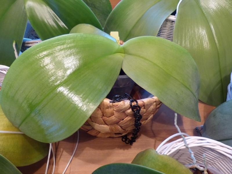 Phalaenopsis gigantea - Seite 5 010aykf3