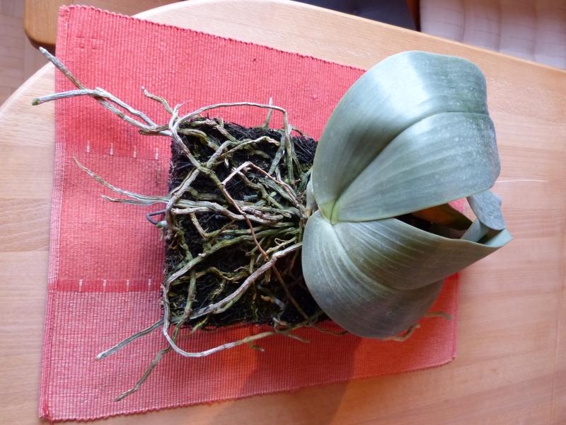 Phalaenopsis gigantea - Seite 6 010b3zlg