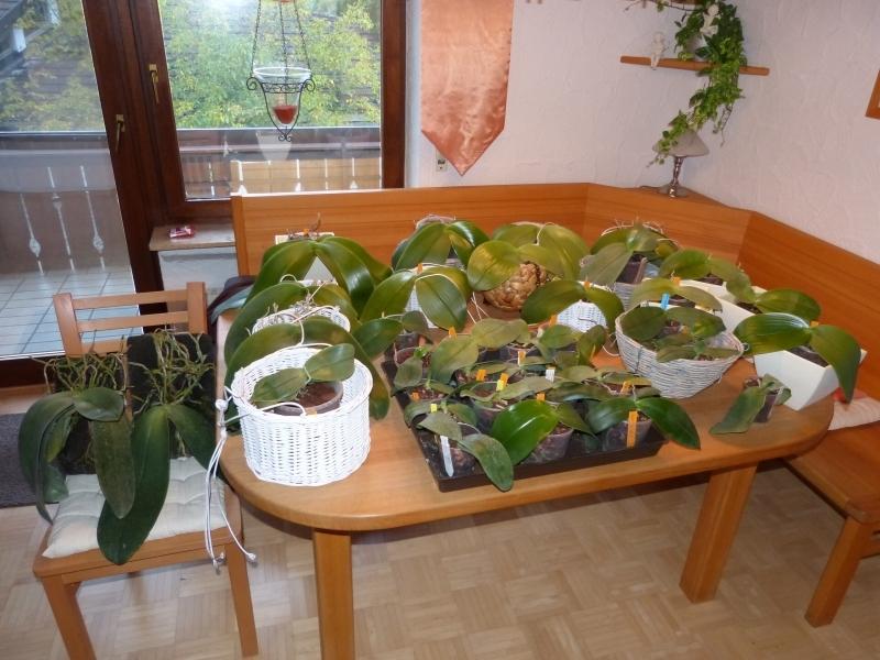 Phalaenopsis gigantea - Seite 5 01254jm7