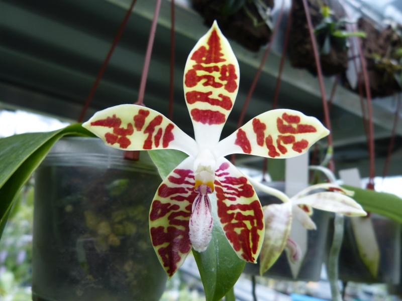Besuch bei MSB Orchideen in Schwabach 0192buyb