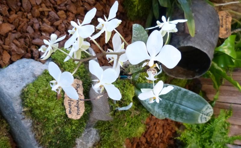 Neu-Ulmer Orchideentage 07.02.-09.02.2014   020wnke1