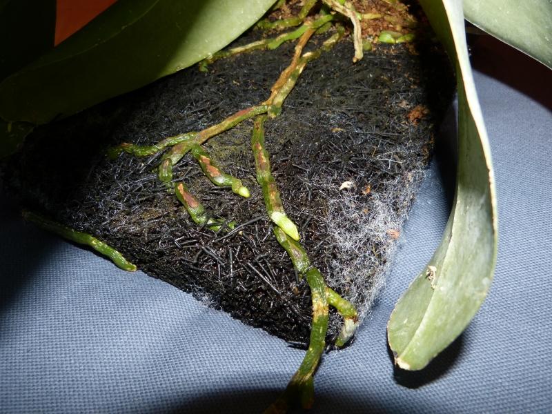 Phalaenopsis gigantea - Seite 2 023upu0b
