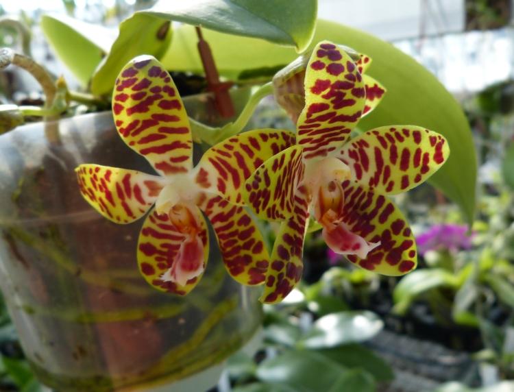 Ich war in Schwabach bei MSB Orchideen 025jwsel