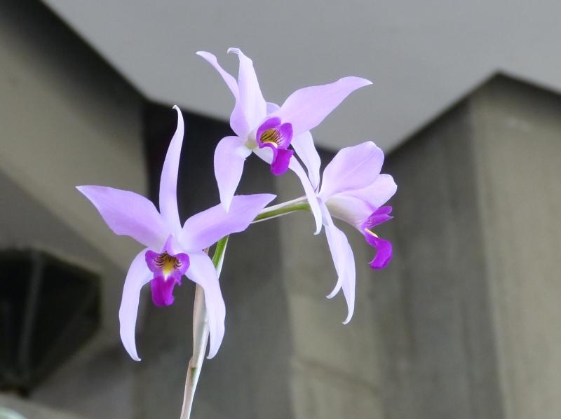 Neu-Ulmer Orchideentage 07.02.-09.02.2014   028fijb7