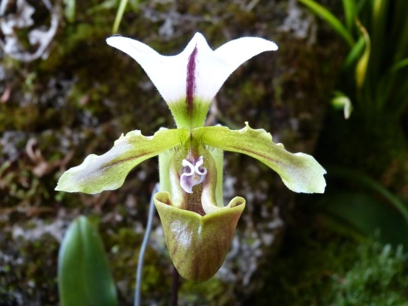 Neu-Ulmer Orchideentage 07.02.-09.02.2014   032pckrm