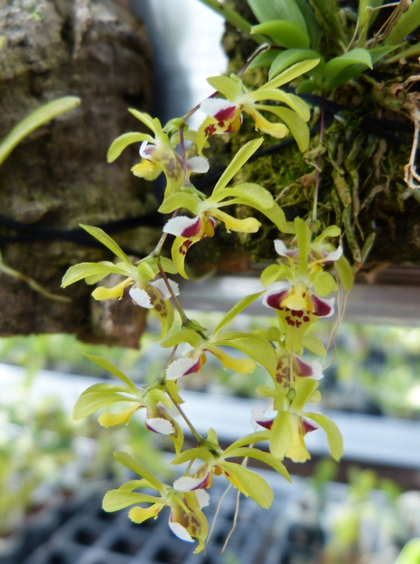 Ich war in Schwabach bei MSB Orchideen 034w1svu