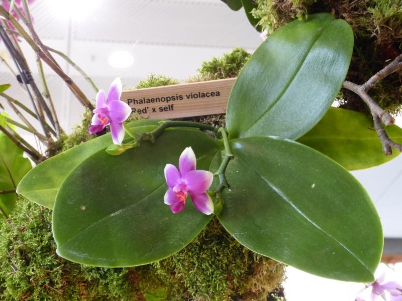 Neu-Ulmer Orchideentage 07.02.-09.02.2014   035vok5b