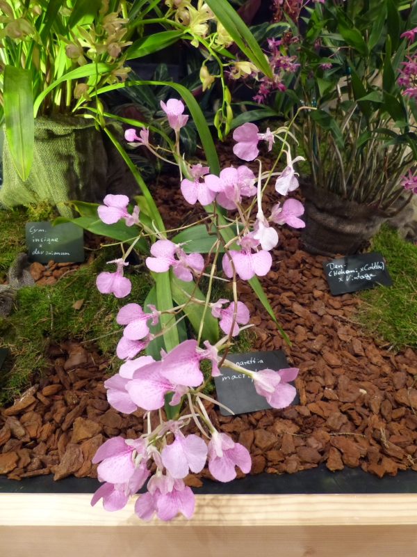 Neu-Ulmer Orchideentage 07.02.-09.02.2014   043z1jp5