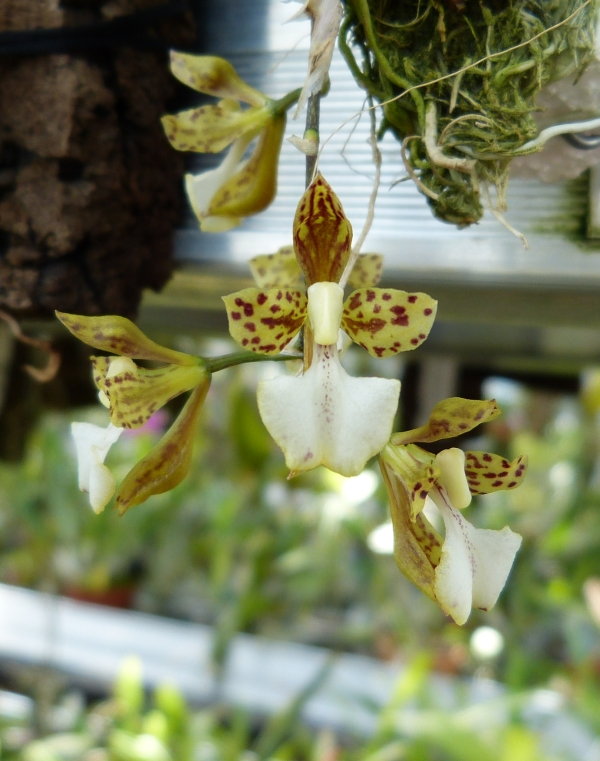 Ich war in Schwabach bei MSB Orchideen 045mussy