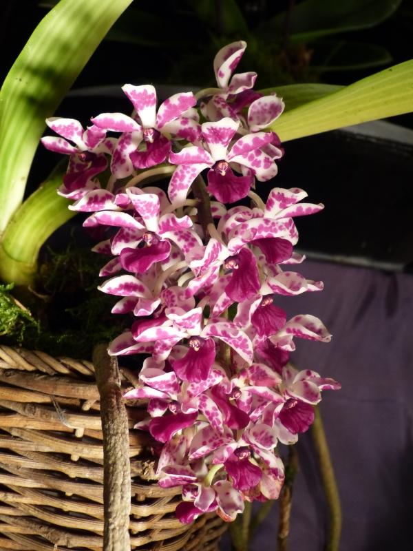 Neu-Ulmer Orchideentage 07.02.-09.02.2014   05331jby