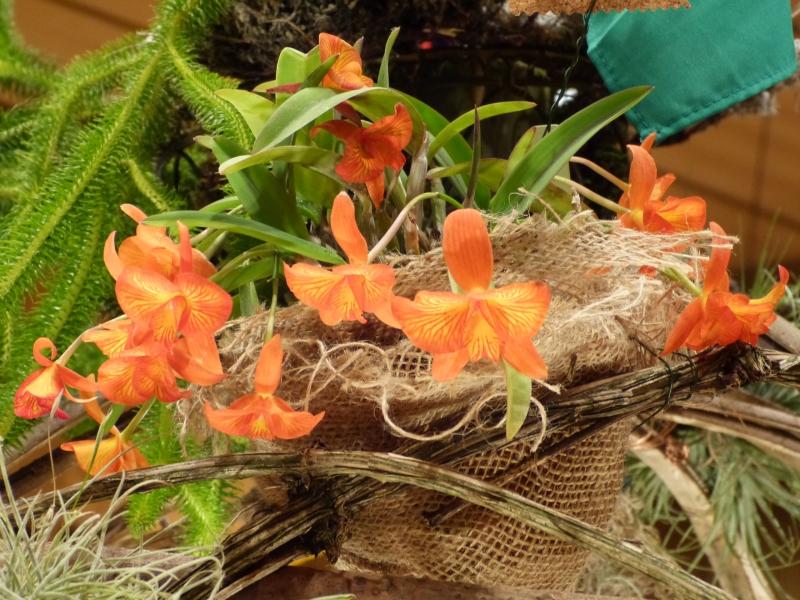 Neu-Ulmer Orchideentage 07.02.-09.02.2014   054gjkm1