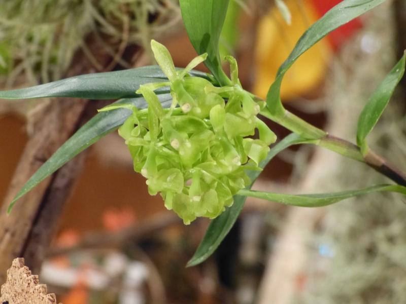Neu-Ulmer Orchideentage 07.02.-09.02.2014   0552ajqd