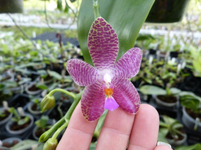 Ich war in Schwabach bei MSB Orchideen 0568ps9b