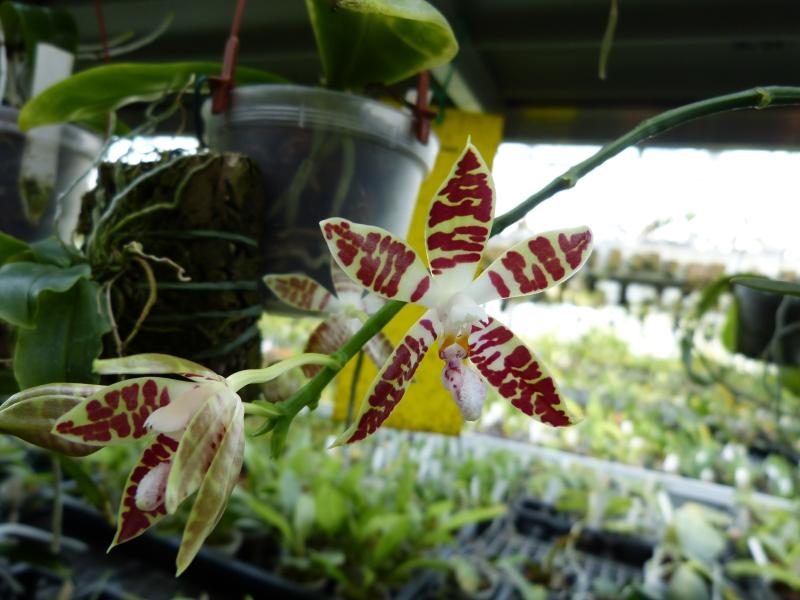 Ich war in Schwabach bei MSB Orchideen 0589osx4