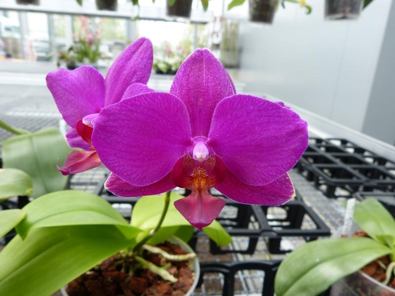 Besuch bei MSB Orchideen in Schwabach 0593gu3n
