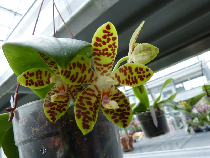 Besuch bei MSB Orchideen in Schwabach 061wzugo