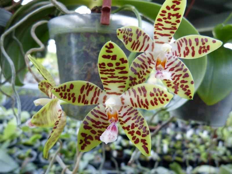 Ich war in Schwabach bei MSB Orchideen 063pwskk