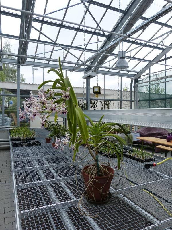 Besuch bei MSB Orchideen in Schwabach 066exu04
