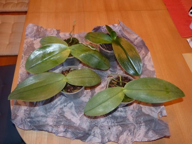 Phalaenopsis gigantea - Seite 5 0692pupv