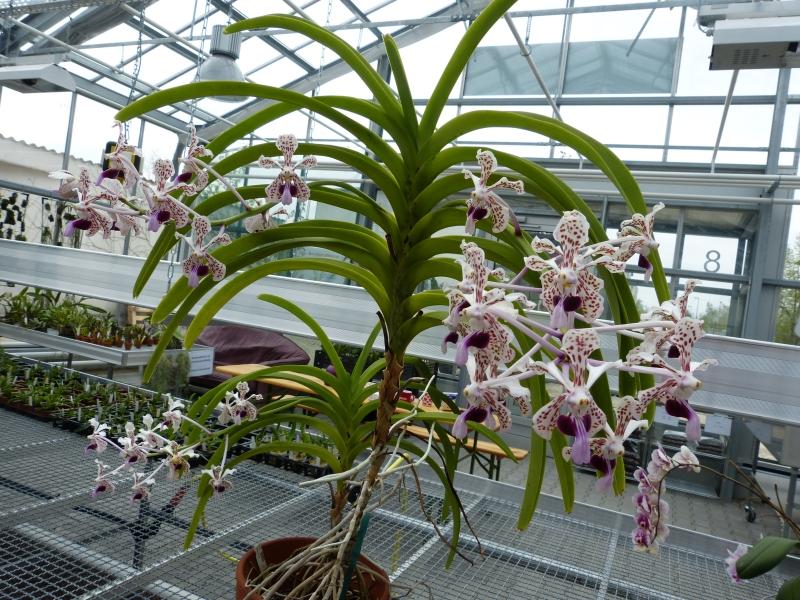 Besuch bei MSB Orchideen in Schwabach 0704au64