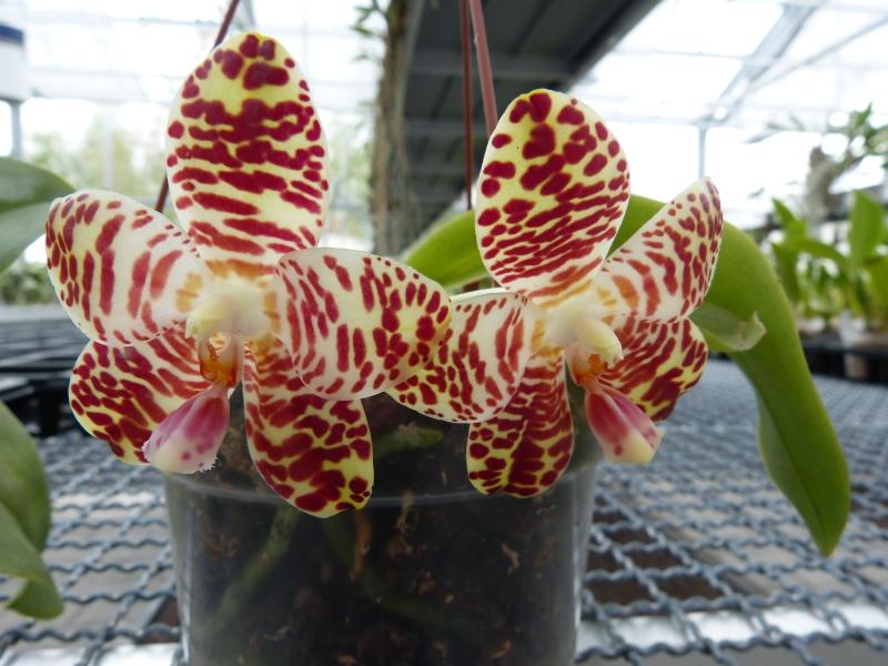 Besuch bei MSB Orchideen in Schwabach 073joujc