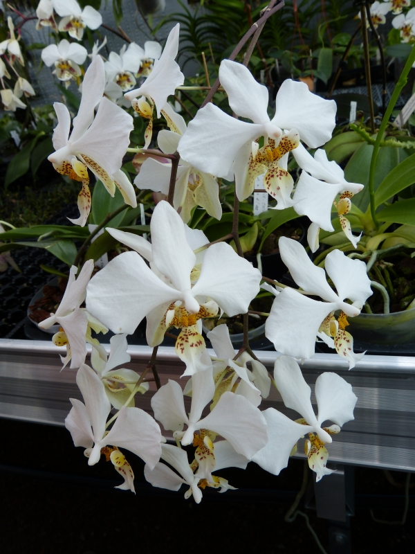 Ich war in Schwabach bei MSB Orchideen 076atsuw