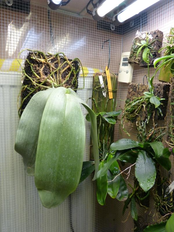 Phalaenopsis gigantea - Seite 2 091oru80
