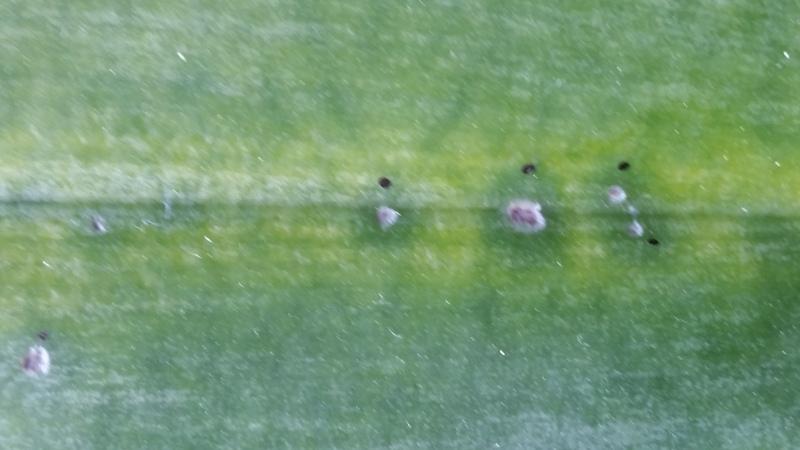 Phalaenopsis doweryensis 20150813_162748c0sj3