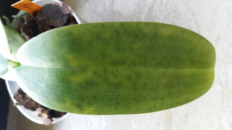 Phalaenopsis doweryensis 20150813_162902w1sug