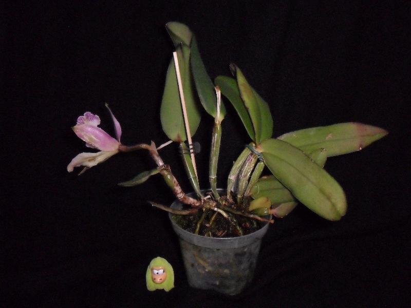 Cattleya pittiae ? Cattleyapittiaetest1t1sa5