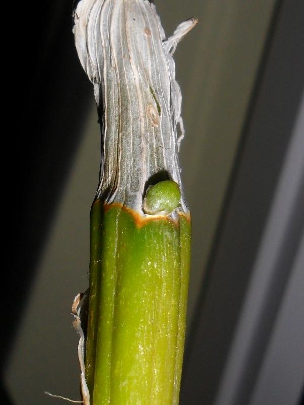 Dendrobium nobile Hybride - Seite 2 Dendrobiumevtlkindel1fyo0m