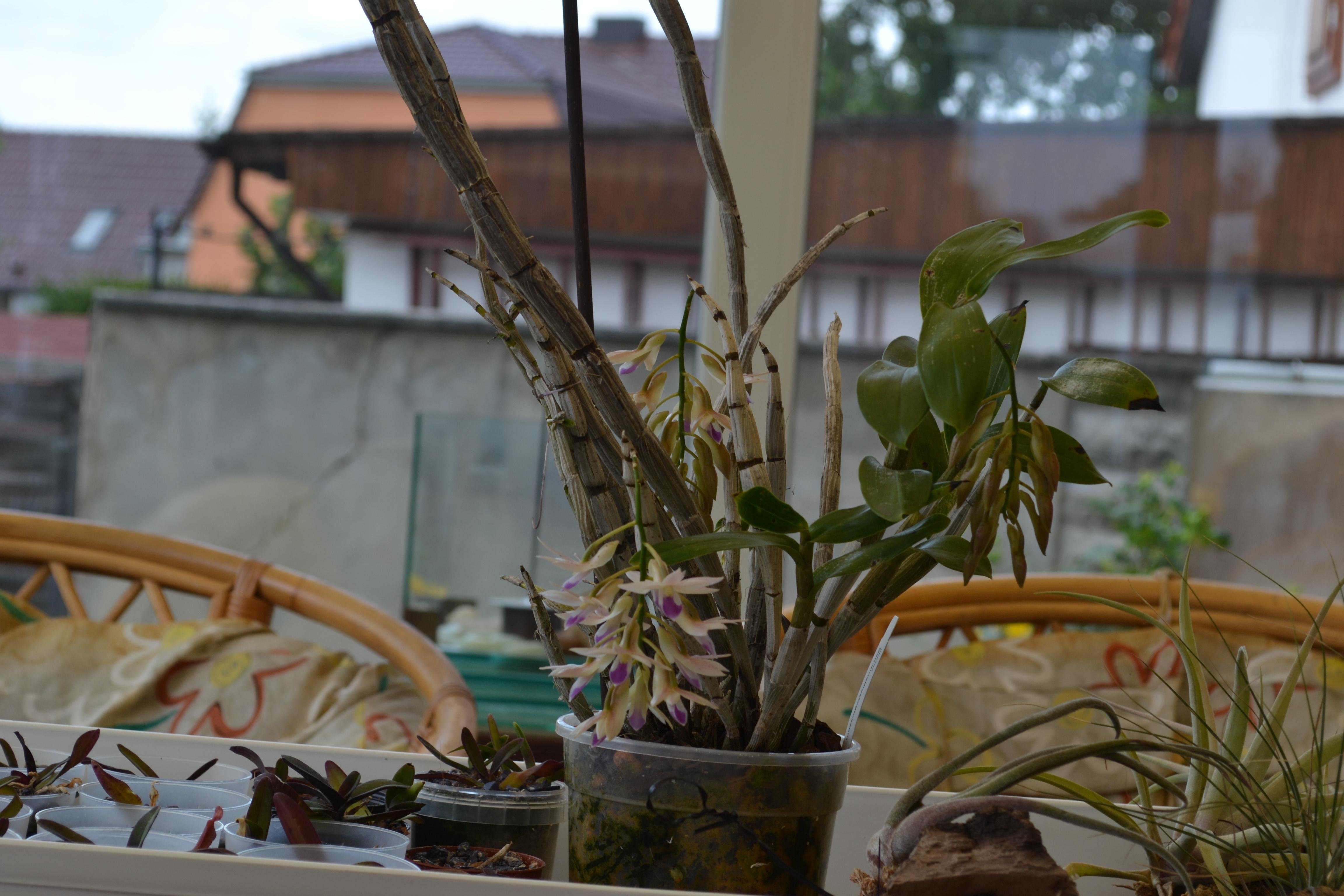 Dendrobium amethystoglossum Dsc_00152sjsnk