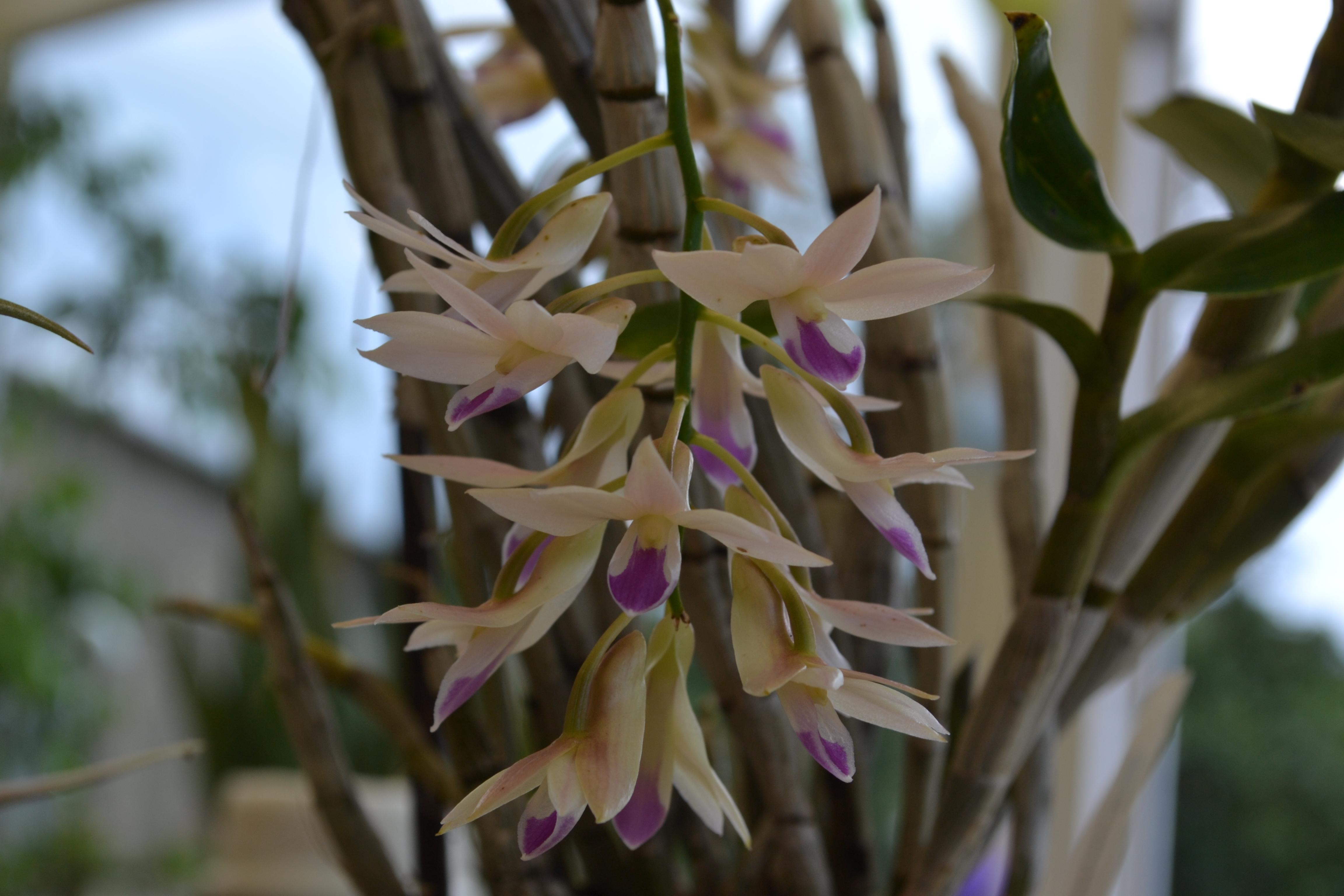 Dendrobium amethystoglossum Dsc_00162dgk8d