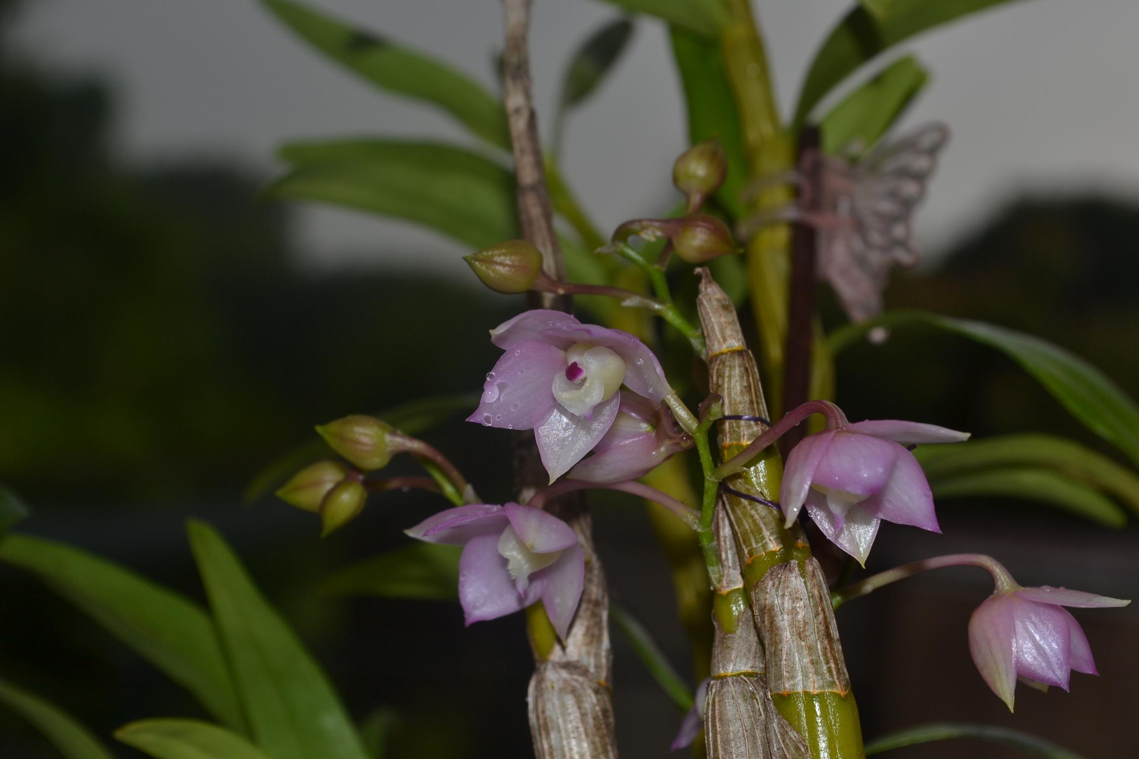 Dendrobium aduncum Dsc_01377vp6x