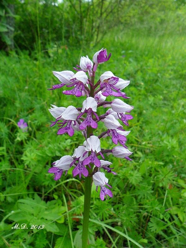 Einheimische Orchideen am Standort Orchideen-freiland052lvur9