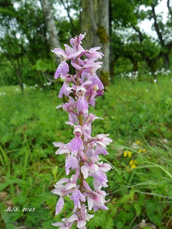 Einheimische Orchideen am Standort Orchideen-freiland052ycuj1