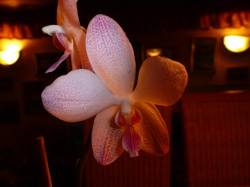 Phalaenopsis gigantea Kreuzungen..... P1000470tsx4a