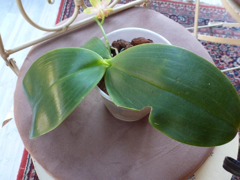Phalaenopsis gigantea Kreuzungen..... P1020199yoz5n