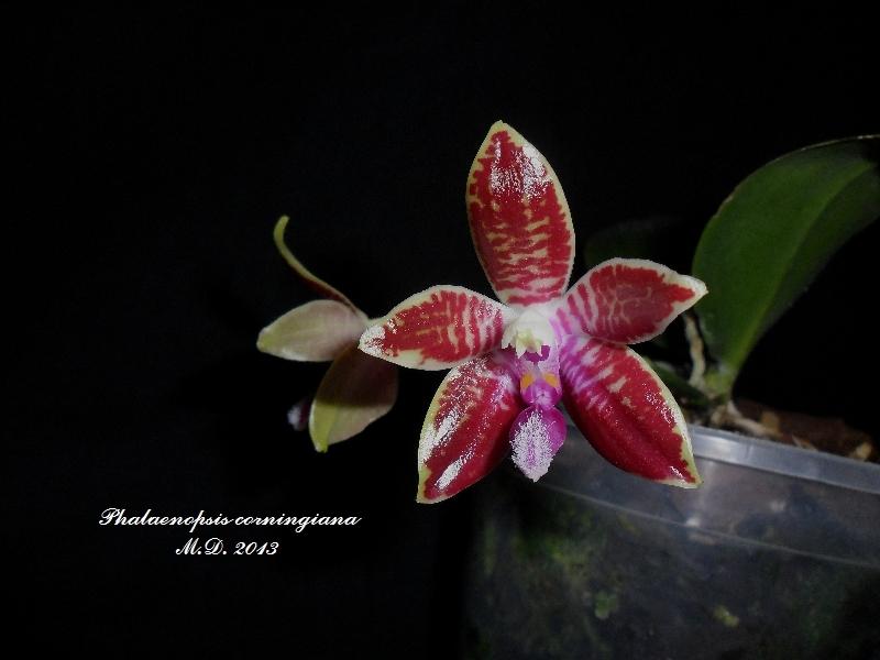 Phalaenopsis corningiana Phalaenopsis-corningitvkjz