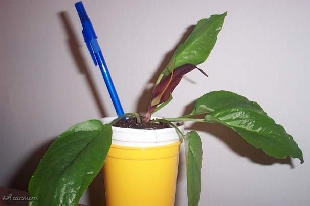 TÌNH YÊU CÂY CỎ ĐV.3 - Page 10 Cordifolium1