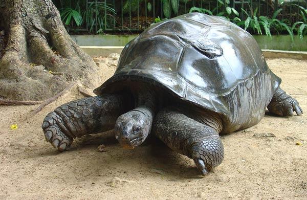 la tortue Seychelles-tortue