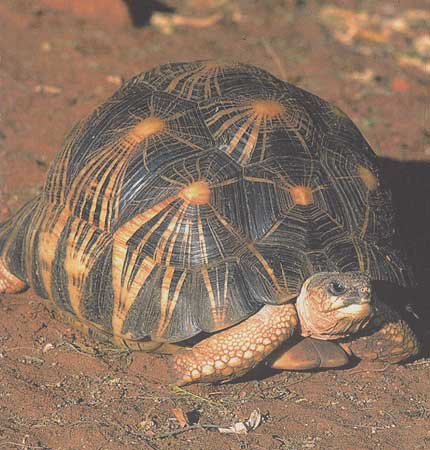 la tortue Tortue_rayonnee