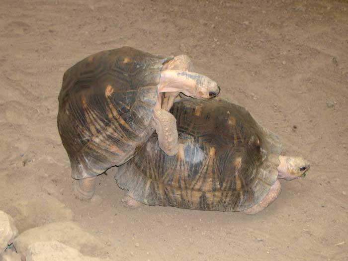 la tortue Tortue_rayonnee_02